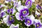 pansy_purple_thb