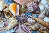 seashells_thb