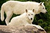whitewolves_thb