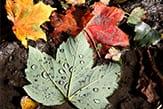 Autumn Leaves_tb