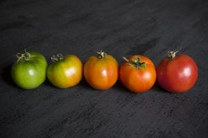 Tomato Eclipes
