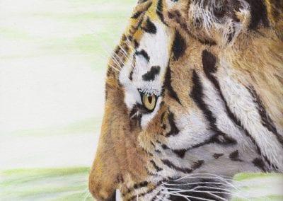 """""""Thirsty Tiger"""""""