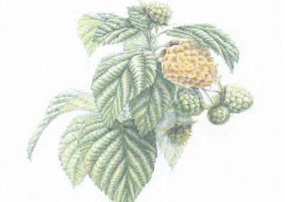 """Yellow Rasberry"""