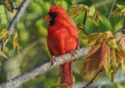 """""""A Cardinal Named Carl"""""""