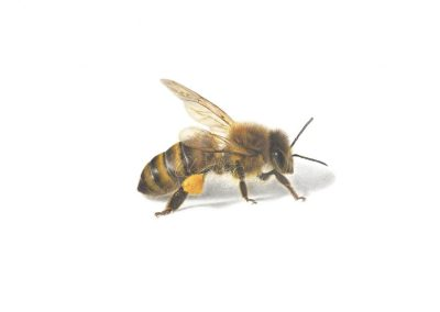 """Honeybee I"""