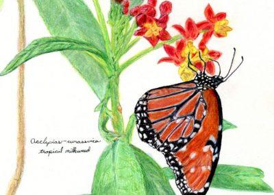 """""""Monarch on Tropical Milkweed"""""""