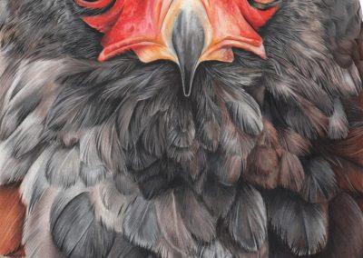 """""""The Bateleur Eagle"""""""