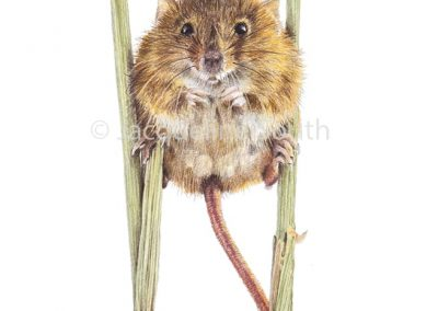 """harvest mouse"""