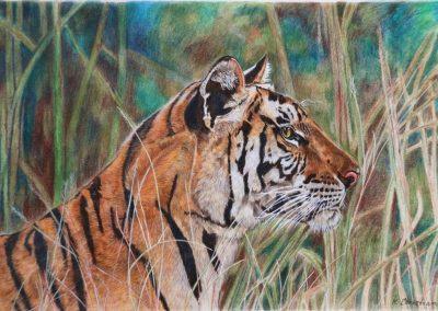 """""""Panna Park Tigress"""""""
