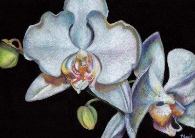 """""""Phalaenopsis Orchid II"""""""